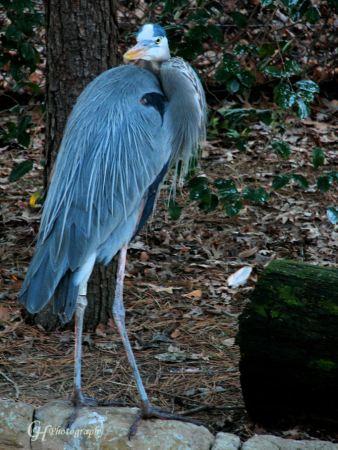 blue-heron1