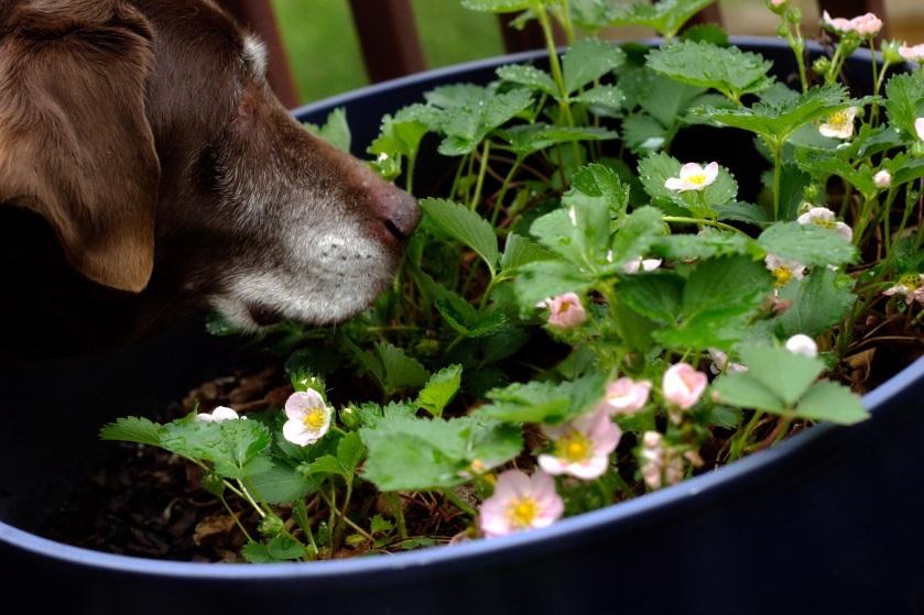 Annie's Strawberries